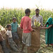Day Laborers and Children Standing Bagging Sweet Corn