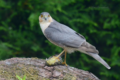 Sparrowhawk (PETEJLB) Tags: sparrowhawk hawk raptor birdsofprey birds bird powys wales uk