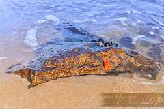Photography-Sealife-Gold-DSC2159 (fatima_suljagic) Tags: photographer melbourne nikond800 nature naturephotographer landscapes landscapephotography australia fineartprints fineartphotography fatimasuljagicmelbourne artstudiomaja artstudiomajacomau