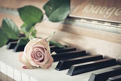 Love (MR@tter) Tags: blumen rose love flower flowers piano dof klavier sigma1770