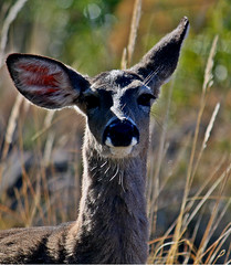 ciervo big bend (Ruben Esparza Bayona) Tags: animales animal wild nature ciervo deer orejas ears