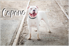 Capone (living_dead_babe) Tags: bully dog breed charity animal woof