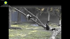 2016_07-15e (gkoo19681) Tags: nationalzoo stealing meixiang beibei sharingiscaring ccncby treatring