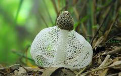 ,  / Phallus indusiatus (bug eye :) Thailand) Tags: nature natural bamboo mushroom fungi grow forest rainforest tropical oriental chiangmai thailand bugeye macro closeup