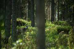 Jeune renne / Young reindeer (Samuel Raison) Tags: nature finland reindeer mouse fishing nikon mice barbecue pike souris barque renne pche finlande brochet nikond2xs nikond3 nikon41635mmafsgvr