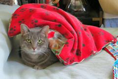 Millie 21 July 2016 0242Ri 4x6 (edgarandron - Busy!) Tags: cat cats kitty kitties tabby tabbies millie graytabby