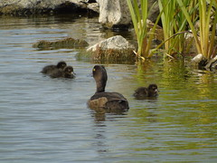 Duck with her ducklings (stuartcroy) Tags: duck duckling orkney island baby babies water weather reflection young beautiful bird bay black brown