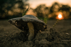 another day in the sun (Nic Pigsa) Tags: sunset nature mushroom bokeh outdoor