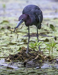 A Little Blue Heron snacks on a frog in Baltimore County, Maryland. (crabsandbeer (Kevin Moore)) Tags: summer heron nature water birds animals wildlife frog waterfowl egret greatblueheron foodchain northpointstatepark npsp