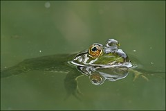 Taking It Easy (muledriver) Tags: green nature water frogs amphibians ponds bullfrog