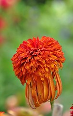 Echinacea hot papaya (mamietherese1) Tags: doublefantasy phvalue auniverseofflowers macroflowerlovers flowerscolors world100f