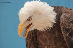 Eagle Looking Down (gerilynns) Tags: blue white bird yellow boston outdoors beak feathers predator americanbaldeagle majesti