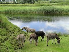 Donkeys grazing the bastion of Damme (Joop van Meer) Tags: donkeys bastion damme 2016 flanderscoastpath