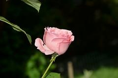 DSC_5518 (aktarian) Tags: roe flower flowers plant plants cvet bloom