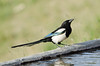 Magpie (Esmaeel Bagherian) Tags: bird birds nikon magpie tamron birdwatching picapica پرنده 2016 پرندگان 1395 piebavarde نیکون birdsphotography birdsofiran پرندهنگری زاغی تامرون nikond7000 اسماعیلباقریان tamron150600 esmaeelbagherian پرندگانایران