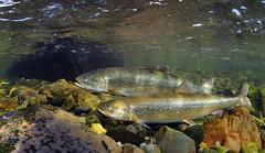 The Pair (Fish as art) Tags: fish arctic rivers biodiversity canadianarctic unterwasserfotografie arcticexpedition salmonids fishbiology underwaterphotographypaulvecsei