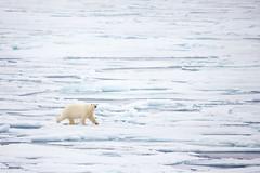 Polar Bear ~ Svalbard (Bartomax) Tags: polar bear ours polaire spitzberg svalbard arctique arctic wildlife grandsespaces