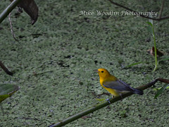 Prothontary Warbler (Mike Woodfin) Tags: park county color nature contrast photoshop canon tampa photography photo cool nikon pretty fuji florida photos country picture photograph fl hillsborough hillsboroughcounty mikewoodfin mikewoodfinphotography