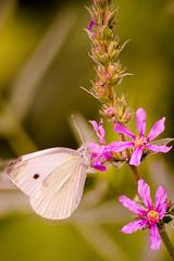 Schmetterling (eule182000) Tags: schmetterling butterfly blume tiefenschrfe fliegen insekt