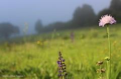 fleurs (couleur) (Mareva D.) Tags: t summer flowers fleurs brouillard arbres trees couleurs gris