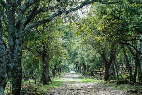 Allée de chênes provençaux