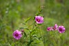 2016 cosmos #1 (Yorkey&Rin) Tags: 2016 7月 cosmos em5 flower japan july lakeyamanaka macro olympus olympusm75300mmf4867ii rin t7241579 yamanashi コスモス マクロ 花の都公園 山中湖
