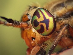 Deer fly eye (kyrontf) Tags: deer fly chrysops eye compound pattern vancouverisland britishcolumbia canada july