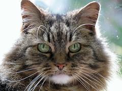 Fluffy Socks (Daisy Waring World) Tags: tabbycat longhairedtabbycat catseyes catswhiskers