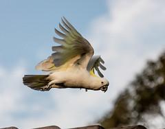 Cockatoo Flight (Steve W3) Tags: birds bird cockatoo flight