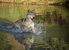Montana Timber Wolf (tvdflickr) Tags: wolf montana usa water wildlife splash photobytomdriggers photosbytomdriggers thomasdriggersphotography copyright reflections nikon d750 nikond750 28300mm afs nikonflickraward timberwolf wolve