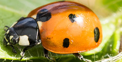 Macro coccinelle (TAHARFR) Tags: coccinelle macro dreams