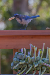 IMG_6274 (armadil) Tags: bird birds jay jays scrubjay scrubjays brusselssprout backyard