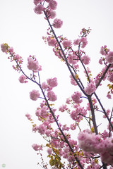 DS7_2254.jpg (d3_plus) Tags: sky plant flower nature japan walking spring twilight nikon scenery cloudy bokeh daily rainy bloom raindrops  cherryblossom  sakura nightshots nik nightview yokohama nikkor  waterdrops      dailyphoto   kawasaki  50mmf14 thesedays        50mmf14d nikkor50mmf14     afnikkor50mmf14 50mmf14s  d700 nikond700 aiafnikkor50mmf14 nikonfxshowcase nikonaiafnikkor50mmf14