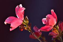 Dogwood Blossoms, explored #4 (Don Briggs) Tags: pinkdogwood dogwoodblossoms donbriggs tamron60mm20macro nikond750