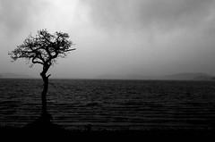 Milarrochy Bay Today (chrissyboys) Tags: tree balloch lochlomond lomondshores milarrochybay
