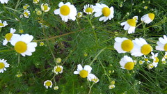 chamomile P1030922 (omirou56) Tags: white color green nature colors yellow lumix spring natur hellas panasonic greece chamomile peloponnese peloponnisos peloponisos aigio achaia                  panasonicdmctz40