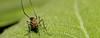 She drinks plant sap for a change !!! (Ezhil Ramalingam) Tags: home female garden leaf mosquito sunflowerleaf abigfave plantsap