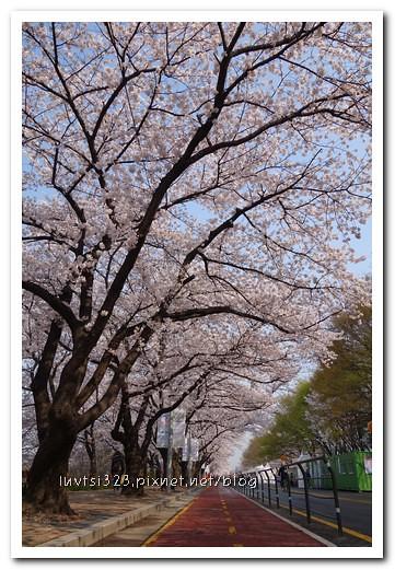 여의도벚꽃06