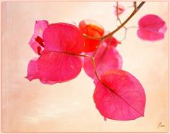 Bougainvillea (Explored) (Jan 130) Tags: flowers portugal ngc bougainvillea npc algarve shrub textured bracts