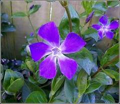 Periwinkle Flower ... (** Janets Photos **Feeling a bit Better) Tags: uk blue plants wonderful hair flora periwinkle nosmoking lover fabulous hardwork applause happytogether redgroup woooow notaterrorist nicegroup herecomesthesun peacetoall notavailable flowerlover royalgroup sexygroup artisticflowers takenwithlove betterthangood veryflickr nicefeelings whiteiswhite whitegroup interestinggroup lovelyflickr dreamlikephotos takenwithhardwork lovelynewflickr pandaonflickr imperialphotography flickrheartgroup closedgroup canceledgroup freedomhasnoprice