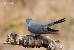 Cuckoo (Col-Page) Tags: cuckoo scotlang