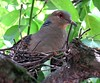Oriental turtle dove (Streptopelia orientalis), Kitano Tenmangu Shrine, Kyoto, Japan, July 2014 (Judith B. Gandy (on and off, off and on)) Tags: birds japan kyoto temples shinto shrines doves streptopelia orientalturtledove streptopeliaorientalis kitanotenmangushrine shintoshrines tenmangū kitanotenmangū michizanesugawara studyshrine