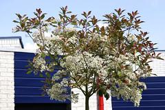 Photinia fraseri 'Red Robin' (HansHolt) Tags: flowers blue red white house tree blauw blossom boom redrobin huis rood wit bloemen photinia christmasberry redtip canonef24105mmf4lisusm photiniafraseri canoneos6d glansmispel