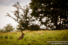 Rabbits In The English Countryside