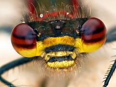 Large Red Damselfly (Tubs McHam) Tags: macro insect wildlife damselfly sigma105mmmacro extentiontubes importedkeywordtags marumiringflash matthewpaullewis tubsmcham
