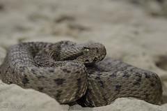 Lebanon Viper (Vipera bornmuelleri) -   (shanicy) Tags: reptile snake viper