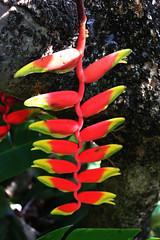Heliconia rostrata (betadecay2000) Tags: brown tree gardens george day outdoor indian tag laub pflanze australia darwin an botanic mast australien february northern blume blatt garten muster februar territory einen 2014 botanischer longifolia bonatic polyalthia organisches regenreichen
