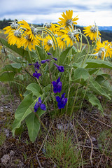 IMG_3269 (Dancing Aspens) Tags: mountains montana arrowleafbalsamroot