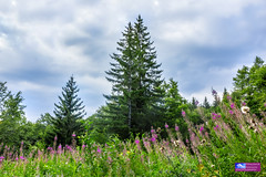 Landscape with spruce and glade with blooming fireweed in the mountain. (Dragomir Nikolov Photography) Tags: fir forest outdoor angustifolium tree blooming meadow natural conifer highland green cloud travel view onagraceae flower horizon scenery summer light blossom willowherb heaven pink wood nice cloudy colorful blue spruce mountain great epilobium beauty ukraine sky rosebay juniperus tourism scene beautiful background fresh softwood nature chamerion carpathian landscape wildlife