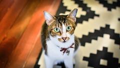 Emerald (BHiveAsia) Tags: cat cats kitten kitty animal animals feline felines pet pets wild life wildlife portrait cute nature